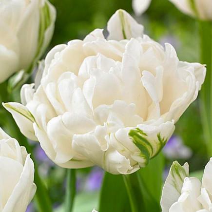 Тюльпан Махровий Mount Tacoma