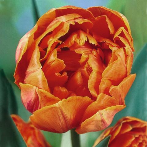 Тюльпан Махровый Orange Princess