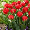 Тюльпан Махровий Pamplona