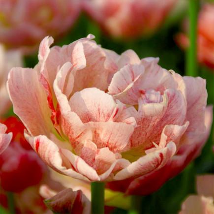 Тюльпан Махровий Peptalk