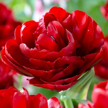Тюльпан Махровый Red Baby Doll