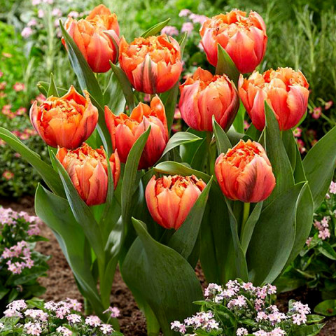 Тюльпан Махровий Royal Centennial