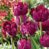 Тюльпан Махровый Royal Acres