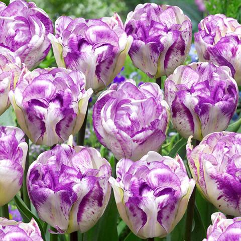 Тюльпан Махровий Shirley Double