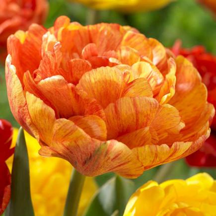 Тюльпан Махровый Sunlover