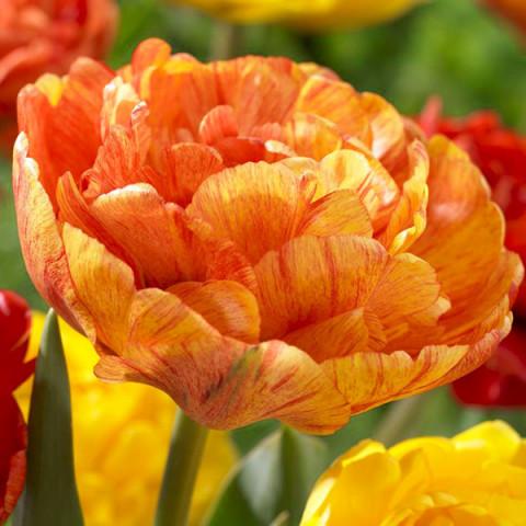 Тюльпан Махровий Sunlover