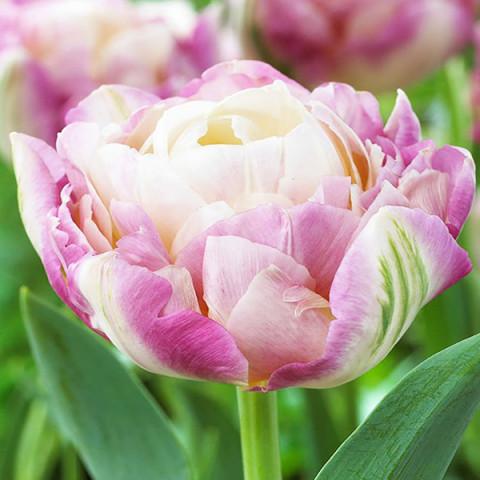 Тюльпан Махровий Sweet Desire