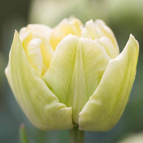 Тюльпан Махровый Verona