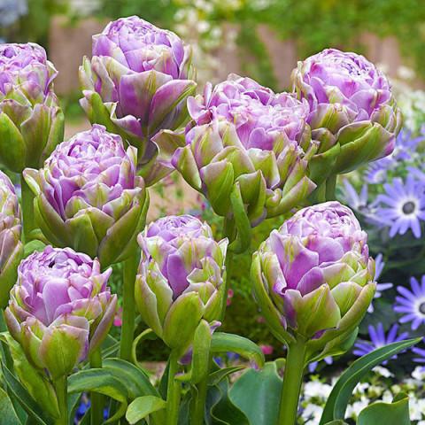 Тюльпан Махровий Violet Pranaa