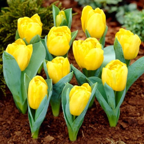 Тюльпан Махровий Yellow Baby