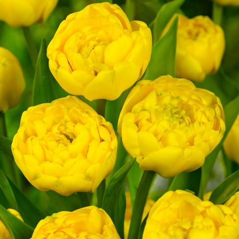 Тюльпан Махровый Yellov Pomponnette