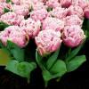 Тюльпан Махровый + Бахромчатый Cairns
