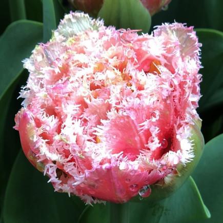 Тюльпан Махровый + Бахромчатый Cool Crystal