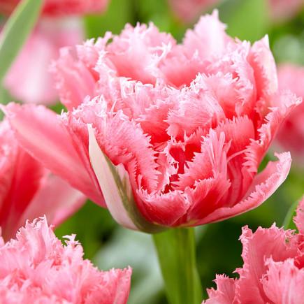 Тюльпан Махровий + Оторочений Crispion Sweet