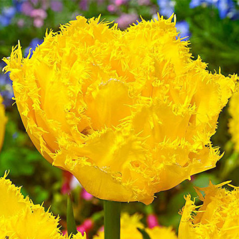 Тюльпан Махровий + Оторочений Exotic Sun