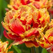 Тюльпаны Махровые + Бахромчатые