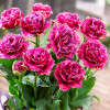 Тюльпан Махровый + Бахромчатый Mascotte