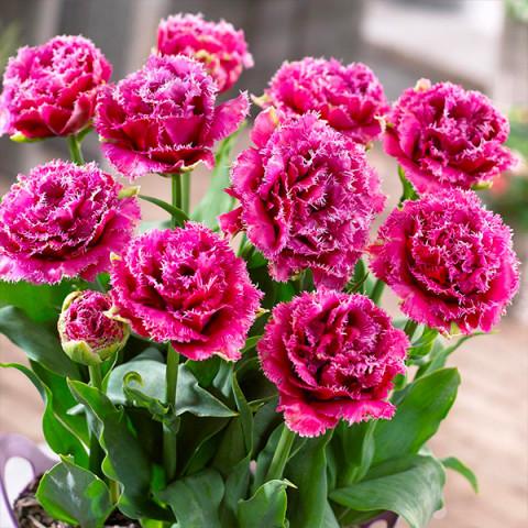 Тюльпан Махровий + Оторочений Mascotte