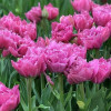 Тюльпан Махровый + Бахромчатый Matchpoint