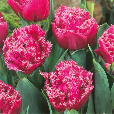 Тюльпан Махровий + Оторочений Matchpoint