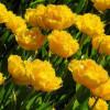 Тюльпан Махровый + Бахромчатый Mon amour