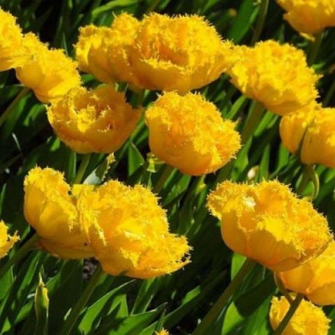 Тюльпан Махровий + Оторочений Moonamour