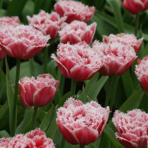Тюльпан Махровий + Оторочений Queensland