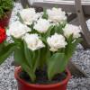 Тюльпан Махровый + Бахромчатый Snow Crystal