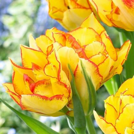 Тюльпан Махровый + Многоцветковый Aquilla
