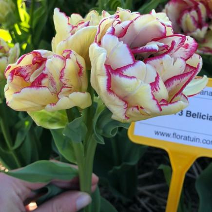 Тюльпан Махровый + Многоцветковый Belicia (premium)