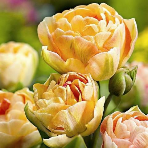 Тюльпан Махровый + Многоцветковый Charming Lady