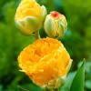 Тюльпан Махровий + Багатоквітковий Double Beauty of Apeldoorn