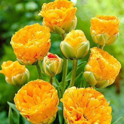 Тюльпан Махровый + Многоцветковый Double Beauty of Apeldoorn