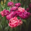 Тюльпан Махровий + Багатоквітковий Granda