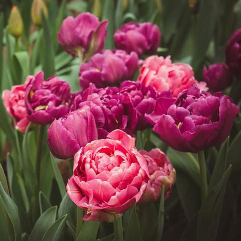 Тюльпан Махровый + Многоцветковый Granda