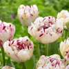 Тюльпан Махровий Jonquieres