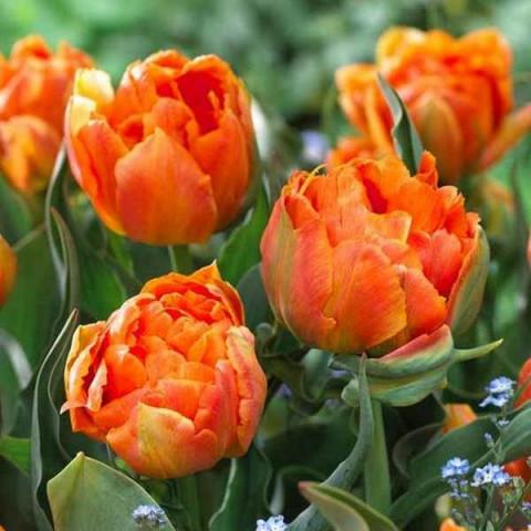 Тюльпан Махровый + Многоцветковый Orca