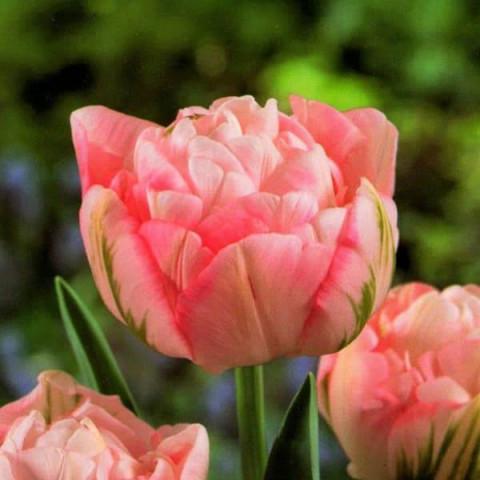 Тюльпан Махровый + Многоцветковый Peach Blossom