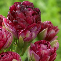 Тюльпан Махровый + Многоцветковый Pearl Mountain