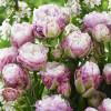 Тюльпан Махровий + Багатоквітковий Peggy Wonder