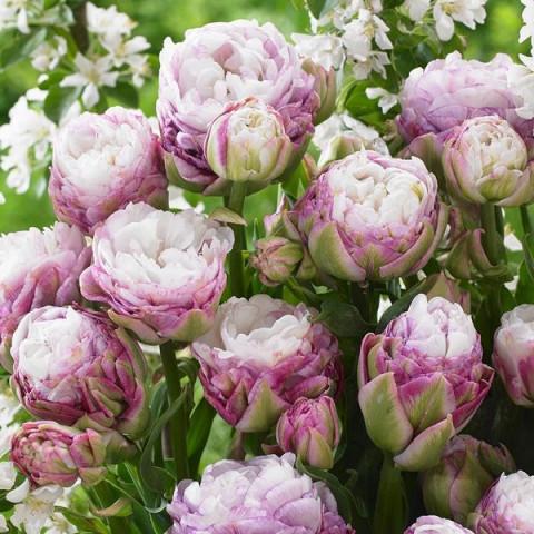 Тюльпан Махровый + Многоцветковый Peggy Wonder