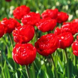 Тюльпан Махровый Robinho
