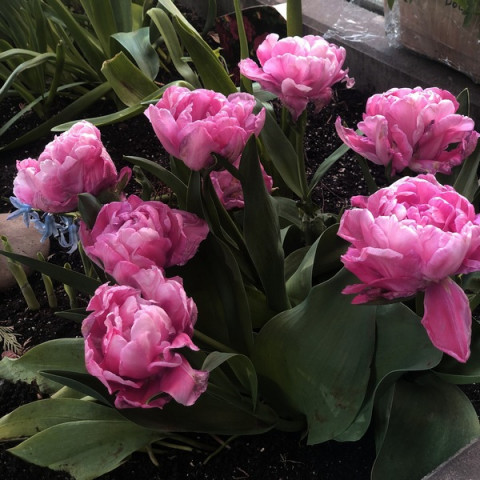 Тюльпан Махровый + Многоцветковый Sunset Tropical