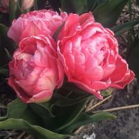 Тюльпан Махровый + Многоцветковый Sweet Amy