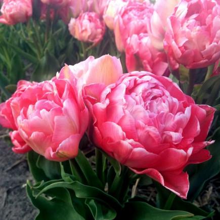 Тюльпан Махровий + Багатоквітковий Sunset Tropical