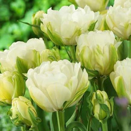 Тюльпан Махровый Maureen Double