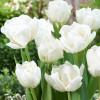 Тюльпан Махровый Mondial