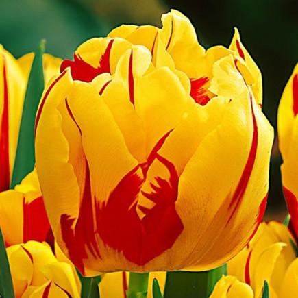 Тюльпан Махровий Monte Feu