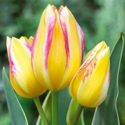 Тюльпан Мультіфлора Antoinette