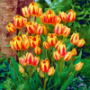 Тюльпан Мультифлора Colour Spectacle